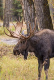 Bull Moose Side Portrait Stock Photography