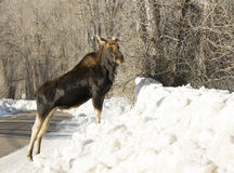 Bull moose on snow bank Stock Photography