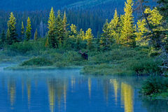 Bull Moose Standing At The Edge Of Lake Royalty Free Stock Photos