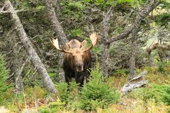 Bull Moose Standing In Field With Trees Royalty Free Stock Photo