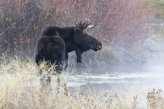 Bull moose standing in warm spring on cold day with steam rising Royalty Free Stock Images