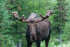 Bull Moose. A bull Moose standing in the wild stock photography