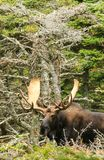 Bull Moose Standing in the Woods stock photography