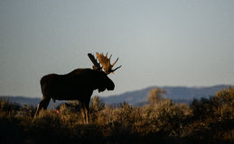 Bull moose after sunset. A bull moose silhouette after sunset in Grand Teton national park Stock Photography