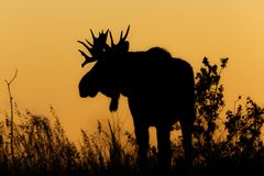 Bull moose sunset silhouette royalty free stock image