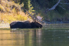 Bull Moose Swimming in River Royalty Free Stock Images