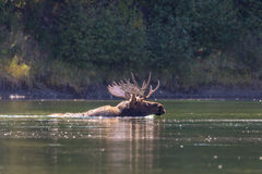 Bull Moose Swimming Royalty Free Stock Photography
