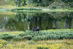 Bull Moose in a thicket near a lake royalty free stock photos