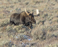 Bull moose traveling or walking quickly through sagebrush and gr Royalty Free Stock Image