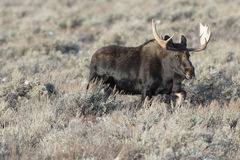 Bull moose traveling or walking quickly through sagebrush and gr Royalty Free Stock Photos