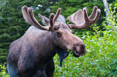 Bull Moose. A bull Moose up close eating royalty free stock images