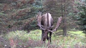Bull Moose in Velvet. A bull alaska yukon moose in velvet stock footage