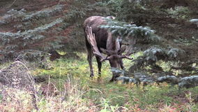 Bull Moose in Velvet in Alaska stock footage