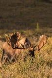Bull Moose in velvet Royalty Free Stock Images