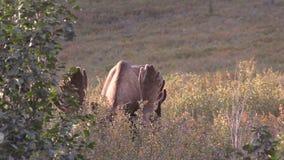 Bull Moose in Velvet