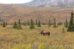 Bull Moose in Velvet in Alaska Stock Images