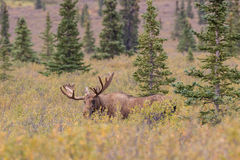 Bull Moose in Velvet Stock Image