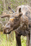 Moose with Velvet Antlers Royalty Free Stock Images