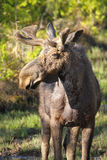 Moose with Velvet Antlers Stock Images