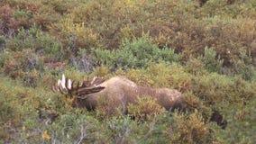 Bull Moose in Velvet. A big bull Alaska Yukon moose in velvet in Denali National Park stock video