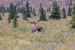 Bull Moose in Velvet Looking Away Royalty Free Stock Photos