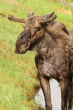Bull Moose in Velvet Stock Photo