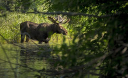 Bull Moose. A bull moose wades into a creek in Grand Teton National Park, Wyoming royalty free stock images