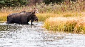 Bull Moose walking in deep water royalty free stock photos