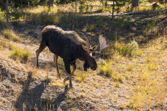 Bull Moose Walking Stock Image