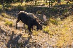 Bull Moose Walking Stock Image