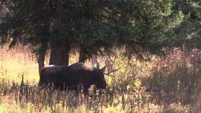 Bull Moose Walking in Rut