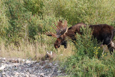 Bull Moose in Willow Thicket Royalty Free Stock Image