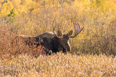 Bull Moose in Willows Stock Image