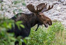 Bull Moose  in Wyoming Stock Photo