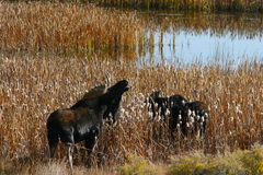 Bull Moose and Yearling Royalty Free Stock Images