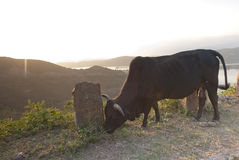 Bull in mountain Stock Photo