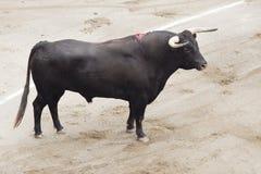 Bull na arena Foto de Stock Royalty Free