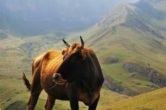 Bull na parte superior do mountai Imagem de Stock Royalty Free