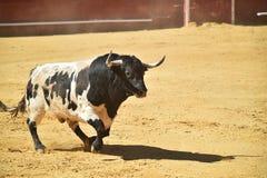 Bull na praça de touros com os chifres grandes em spain fotos de stock royalty free