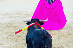 Bull with nailed banderillas looks the bullfighter's cape Stock Photography