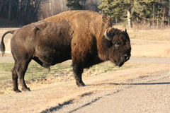 The bull in the national park. National park, elk island, canada Stock Image