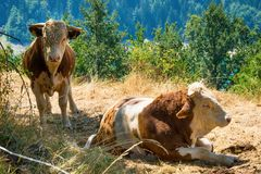 Bull. In nature in Serbia stock photos