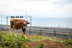 Bull near Osman Gazi Bridge in Kocaeli, Turkey. Kocaeli, Turkey - September 03, 2016: New bull is grazing grass near the newly constructed Osman Gazi Bridge Royalty Free Stock Image