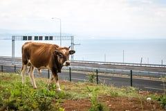 Bull near Osman Gazi Bridge in Kocaeli, Turkey. Kocaeli, Turkey - September 03, 2016: New bull is grazing grass near the newly constructed Osman Gazi Bridge Stock Image
