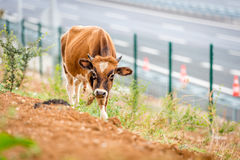 Bull near Osman Gazi Bridge in Kocaeli, Turkey. Kocaeli, Turkey - September 03, 2016: New bull is grazing grass near the newly constructed Osman Gazi Bridge Stock Photo