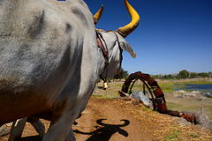 Bull near a watermill. Near Udaipur. Rajasthan. India Royalty Free Stock Images