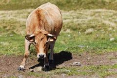 Bull nel campo Fotografie Stock Libere da Diritti