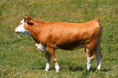 Bull nel campo Fotografie Stock