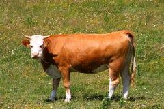Bull no campo Imagens de Stock Royalty Free