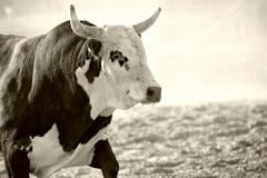 Bull no rodeio Fotos de Stock Royalty Free